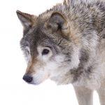 Ist der Hund ein Wolf?